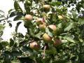 Opuštěná jabloň