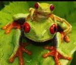redeyetree frog